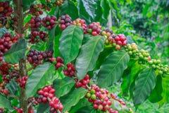 Koffie op boom stock fotografie