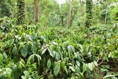 Koffieaanplanting royalty-vrije stock foto's