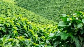 Koffieaanplanting Stock Foto's