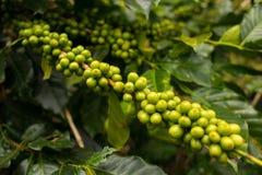 Koffieaanplanting in DA Lat, Vietnam Stock Foto