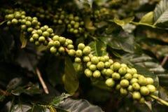 Koffieaanplanting in DA Lat, Vietnam Royalty-vrije Stock Afbeelding