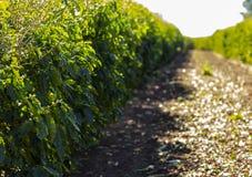 Koffieaanplanting De achtergrond van de koffieindustrie Stock Fotografie
