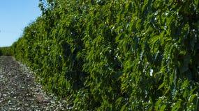 Koffieaanplanting De achtergrond van de koffieindustrie Royalty-vrije Stock Foto's