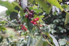 Koffieaanplanting in de landelijke stad van Carmo DE Minas Brazil Stock Afbeelding