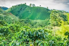 Koffieaanplanting in Jerico Colombia Stock Afbeelding