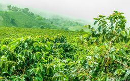Koffieaanplanting in Jerico, Colombia Stock Foto's