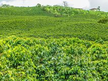 Koffieaanplanting in Jerico, Colombia Royalty-vrije Stock Foto's