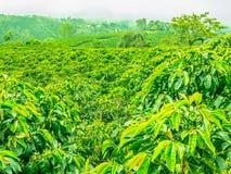 Koffieaanplanting in Jerico, Colombia Stock Fotografie