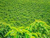 Koffieaanplanting in Jerico, Colombia Royalty-vrije Stock Afbeeldingen