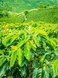 Koffieaanplanting in Jerico, Colombia Stock Afbeeldingen