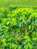 Koffieaanplanting in Jerico, Colombia Stock Afbeelding