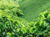 Koffieaanplanting Jerico, Colombia Stock Afbeeldingen