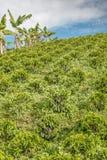 Koffieaanplanting Jerico, Colombia Royalty-vrije Stock Afbeeldingen