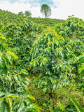 Koffieaanplanting in Jerico, Colombia Royalty-vrije Stock Afbeelding