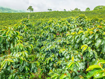 Koffieaanplanting in Jerico, Colombia Royalty-vrije Stock Fotografie