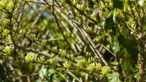 Koffiebonen in de groei op boom Stock Foto