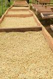 Koffiebonen droog in de zon Royalty-vrije Stock Foto