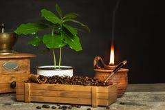 Koffiebonen en koffiezaailingen Koffie handel Gewassenproductie De reclame van de koffie Royalty-vrije Stock Fotografie