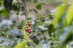 Koffiebonen op de boom royalty-vrije stock afbeelding
