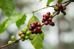 Koffiebonen op Tak Stock Foto's