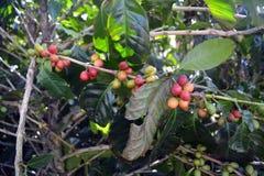 Koffiebonen van variërende graden van rijpheid op de takken van koffiestruiken op een aanplanting in Costa Rica Royalty-vrije Stock Foto
