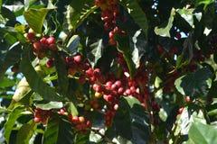 Koffiebonen van variërende graden van rijpheid op de takken van koffiestruiken op een aanplanting in Costa Rica Stock Fotografie