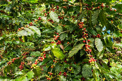 Koffieboom Stock Afbeelding