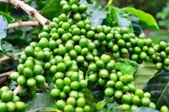 Koffieboom Royalty-vrije Stock Afbeelding