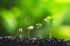 Koffieboom die Plantend zaden in aard regenachtig seizoen groeien stock afbeeldingen