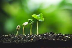 Koffieboom die Plantend zaden in aard regenachtig seizoen groeien royalty-vrije stock foto