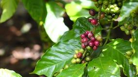 Koffieboon op bruine achtergrond stock footage