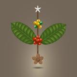 Koffieboon op een tak van boom Stock Afbeelding