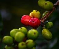 Koffiefruit Royalty-vrije Stock Afbeelding