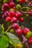 Koffieinstallatie 2 Royalty-vrije Stock Afbeeldingen