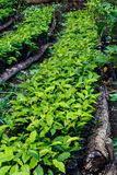 Koffieinstallaties die in een aanplanting groeien Stock Fotografie