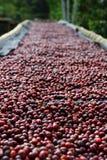 Koffiekersen Stock Afbeelding
