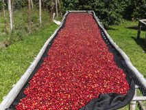 Koffiekersen die op bamboe opgeheven bedden in Boquete liggen te drogen stock fotografie