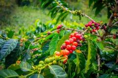 Koffielandbouwbedrijf in Manizales, Colombia Stock Foto's