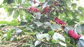 Koffielandbouwer het oogsten koffiebonen stock videobeelden