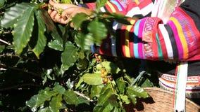 Koffielandbouwer het oogsten koffieboon stock video