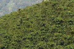 Koffielandschap Royalty-vrije Stock Afbeelding