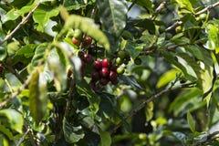 Koffielandschap Royalty-vrije Stock Afbeeldingen