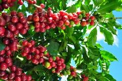 Koffieproductie Royalty-vrije Stock Fotografie