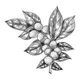 Koffietak met blad, bes, koffieboon, fruit, zaad Natuurlijke organische cafeïne Hand getrokken vectorillustratie royalty-vrije illustratie