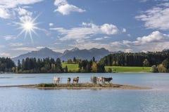 Koflock på ön i sjön Forggensee royaltyfria bilder