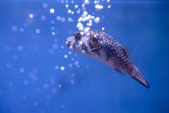 Kogelvisvissen Royalty-vrije Stock Afbeeldingen