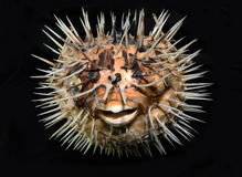 Kogelvisvissen op Zwarte Achtergrond royalty-vrije stock foto