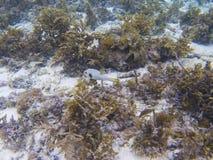 Kogelvisvissen in tropische kust onderwaterfoto Koraalrifdier Stock Foto's