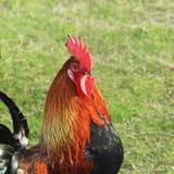 Kogutów spojrzenia attentively przy kurczakiem Obrazy Royalty Free