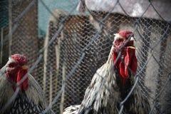 Kogut gaworzy za ogrodzeniem przy gospodarstwem rolnym Dwa koguta łapać w pułapkę w klatce Zdjęcie Royalty Free